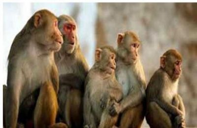 Agra: Monkey snatches 12-day-old baby from mother's lap and mauls him