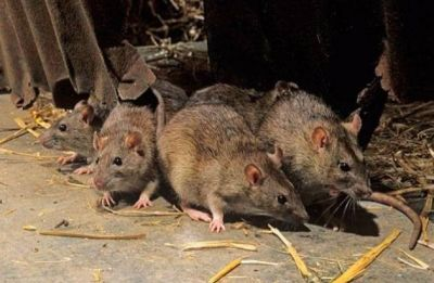 In Assam, this Sunday market sells rat meat for Rs 200 per kg