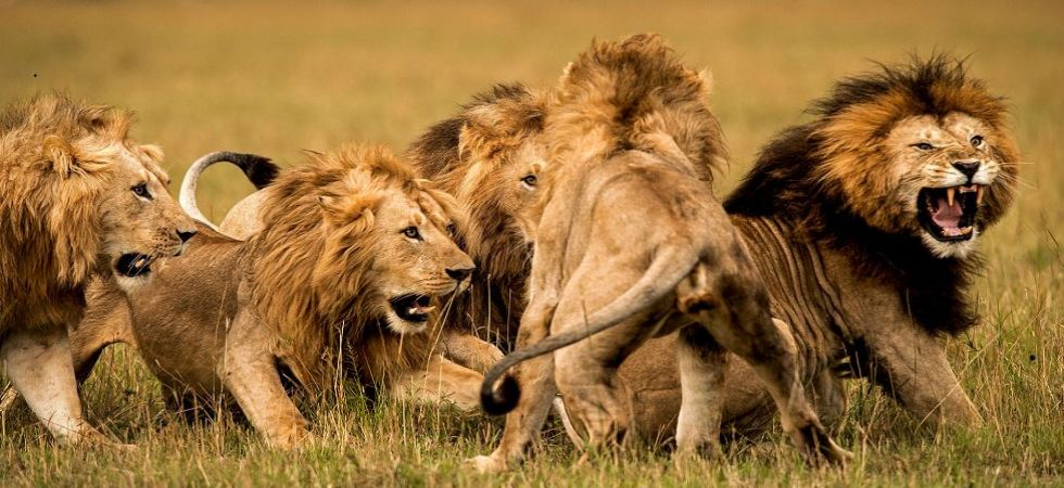 Watch Video: Lions took charge of traffic near South African park (File Photo)