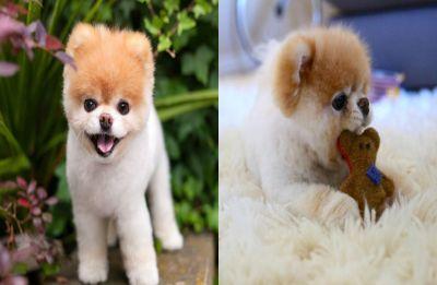 Internet sensation and world's cutest dog Boo dies at 12