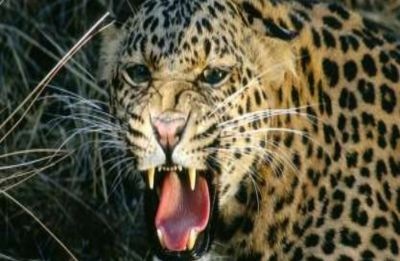 Watch: Heart-stopping moment when leopard nearly-mauled man in Maharashtra's Nashik