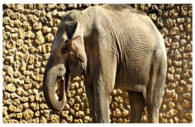 World's saddest elephant, Flavia dies at zoo after an agonizing 43 years of solitary confinement