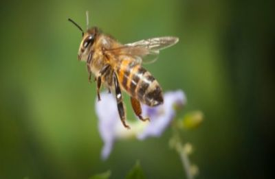 Fun fact! Honey bees may tell how clean your city is