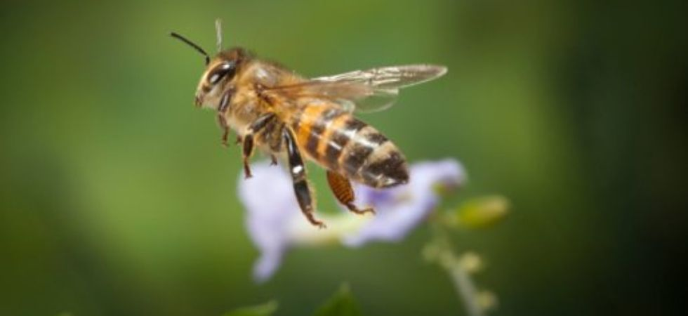 Honey bees may help monitor pollution in cities. (File Photo)