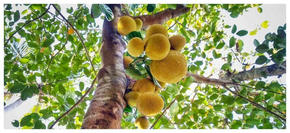 Keralites are not happy with their description of jackfruit (Photo: Instagram)