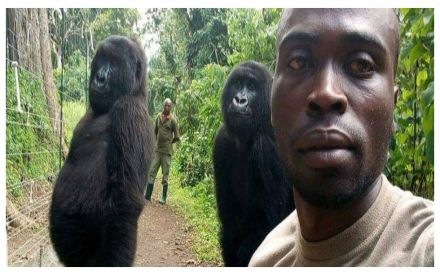 Gorilla cool! Atten-hut selfie of giant primates with anti-poaching officers gain netizens respect
