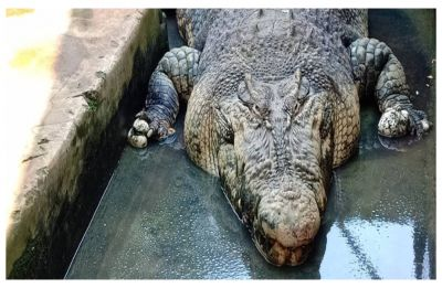 Shocking!!!! Crocodile grabs man's crotch, drags him into river, emerges with feet in jaws