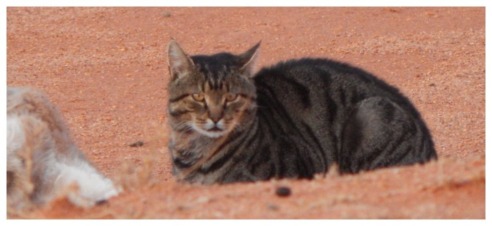 Australian government aims to kill at least two million feral by 2020 (Photo: Twitter)