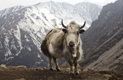 Trapped in snow, 300 yaks starve to death in North Sikkim