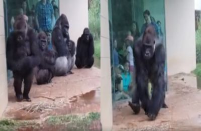 Watch: This hilarious video of gorillas trying to stay out of rain is going viral