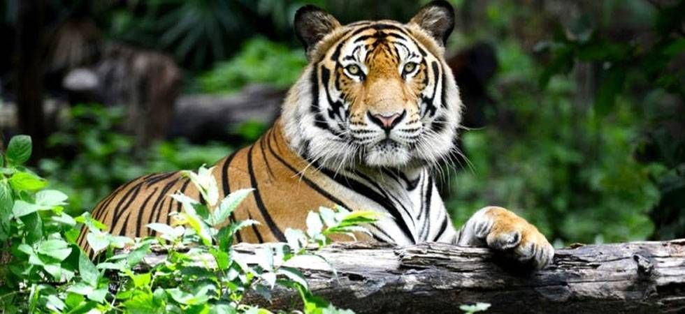 Even in cases where elephants were killed in infighting, tigers were found eating their body parts, the study said. (File Photo)