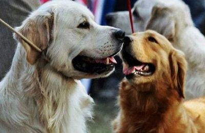 Dogs evolved 'puppy eyes' to better communicate with humans: Study