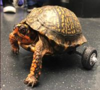Bravo! Turtle gets mini wheelchair implanted on it after losing pair of legs