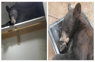 Bear breaks into home, unapologetically falls asleep in closet