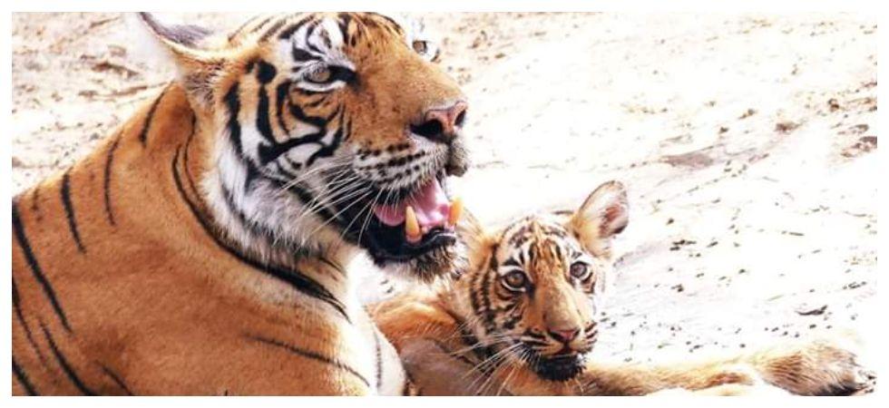 Ranthambore Tigress gives birth to three tiger cubs (Photo: ANI)