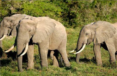 Assam government stops transportation of elephants to Gujarat