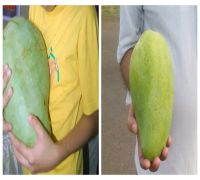 Meet the queen of mangoes, 'Noor Jahan', the world's rarest and biggest mango found only in Alirajpur district