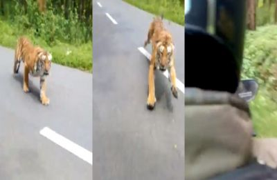 Heart-stopping moment of tiger chasing biker in Kerala sanctuary goes viral, watch video