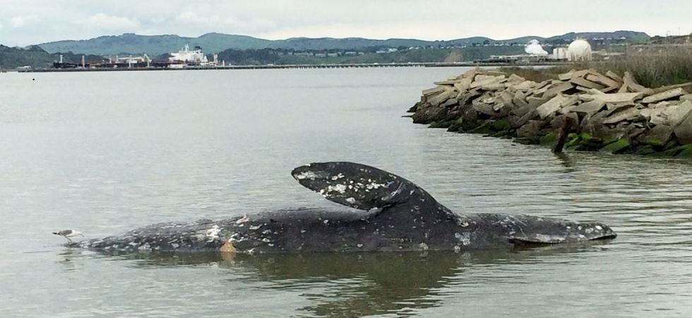 Gray whales (File Photo)
