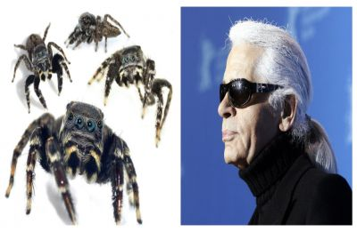 Meet spider Karl Lagerfeld! New spider species named after late fashion designer for its uncanny resemblance