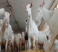 Goat milk formula can benefit infant gut health against gastrointestinal infections: Study