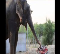 Elephant rescued from captivity celebrates five years of freedom with a special 'cake'