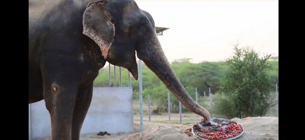 Elephant rescued from captivity celebrates five years of freedom.