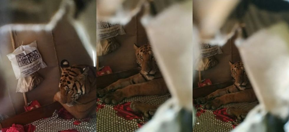 Probably disturbed, Royal Bengal Tiger jumped across the wall of a scrap garage and took refuge in the room.