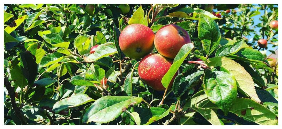 An apple carries about 100 million bacteria says study (Photo: Instagram)