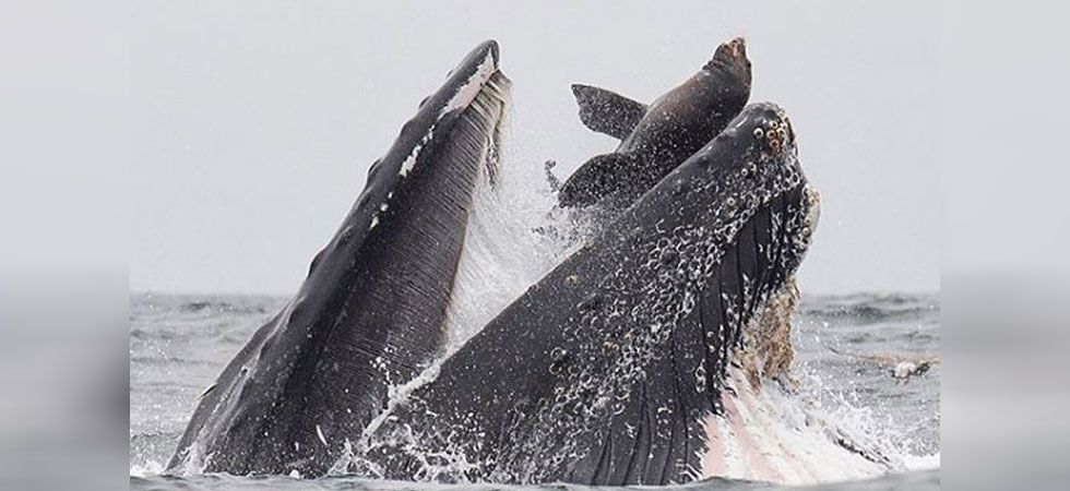 As the animals were munching on anchovies, an unlucky sea lion failed to get out of the way in time and ended up inside the whale's mouth. (Photo credit: Chase Dekker/Instagram)