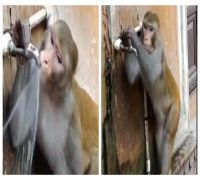 Humans are you watching this? Monkey drinks water then CLOSES tap in this viral video, WATCH