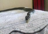 Python falls from ceiling to bed, pictures will definitely leave you scared