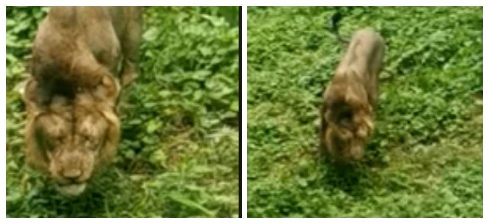 Viral Video Of Lion Eating Grass in Gir forest shock netizens (Photo: Facebook)