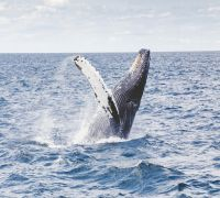 Researchers Use Drones To Measure Weight Of Whales