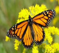 Monarch Butterfly's Toxin Resistance Conferred In Fruit Flies, Claims Study