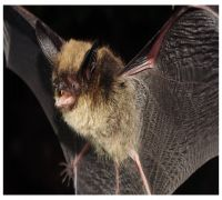 Bats In Nagaland May Carry Ebola Family Of Viruses: Study