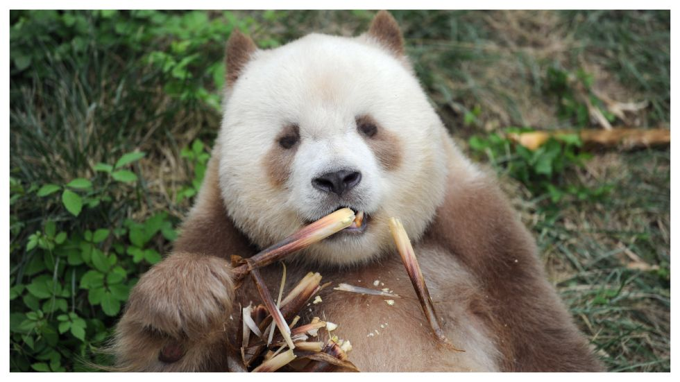 World's Only Captive Brown Panda 'Adopted'