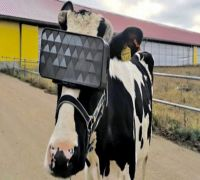 'Moo'ving! Russian Vets Made Cows Wear Virtual reality Headset To Improve Milk Production