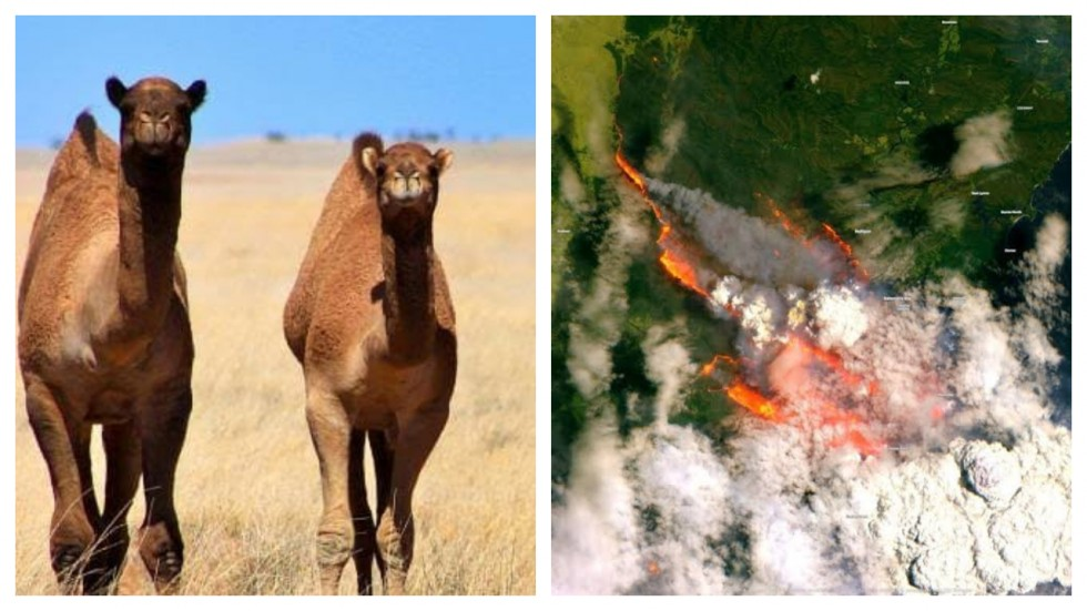 Australia To Kill Over 10,000 Camels Because They Drink 'Too Much Water'
