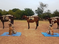Yoga Day 2019 ITBP Four-legged enthusiasts twist and bend in Panchkula ITBP personnel horse and dog squad
