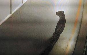 Gurugram: Leopard enters Maruti Suzuki plant, no casualities reported