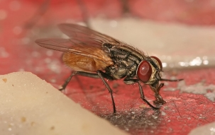 Alarm: How dangerous can house fly prove to your health?