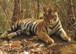 Question Hour: Politics over killing of tigress Avni, whom to blame?