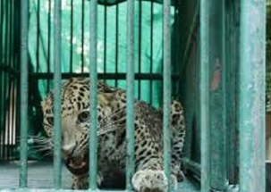 Leopard enters Gujarat Secretariat, captured safely