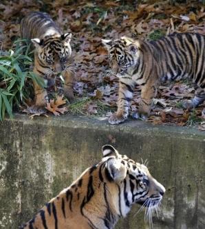 Tiger cubs make debut at National zoo!
