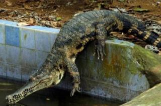 Watch: 13-feet-long crocodile enters into Vadodara's Gardhia village